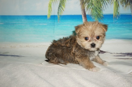 Private Male CKC Shorkipoo $1750 Ready 9/5 HAS DEPOSIT MY NEW HOME ORMOND BEACH, FL 1.12lb 6W4D OLD