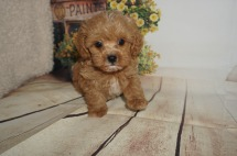Rio Male CKC Maltipoo $2000 Ready 8/20 SOLD MY NEW HOME PONTE VEDRA, FL 1.11LBS 7WK OLD