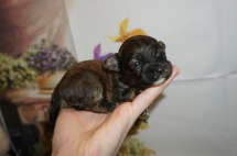 Roo Male Havanese $2000 Ready 9/24 AVAILABLE 8 oz 2W3D Old