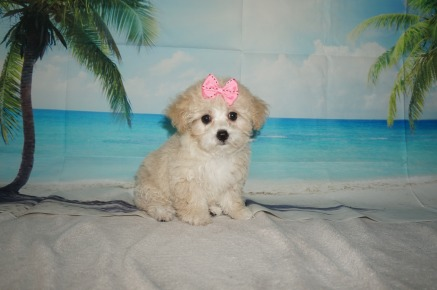 Rose Female CKC Maltipoo $1750 Ready 8/15 SOLD MY NEW HOME JACKSONVILLE, FL 2.11LB 10W OLD