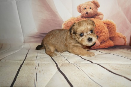 Sargent Male CKC Shorkipoo $1750 Ready 9/5 AVAILABLE 1.6LBS 4W4D OLD
