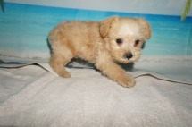 Simba Male CKC Schnoodle $1750 Ready 8/30 SOLD MY NEW HOME ST SIMON ISLAND, GA 1.12LB 7W4D OLD