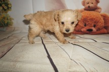 Simba Male CKC Schnoodle $1750 Ready 8/30 AVAILABLE 1.2LBS 5W3D OLD