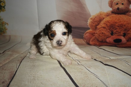 Snickerdoodle Male CKC Shihpoo $1750 Ready 9/17 AVAILABLE 1.1LBS 3W3D old