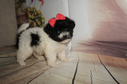 Tiana Female CKC Shihpoo $1750 AVAILABLE 1.4LBS 5W4D OLD
