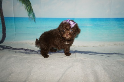 Toffee Female CKC Maltipoo $2000 Ready 9/3 SOLD MY NEW HOME IS IN JAX, FL 15.7OZ 7W1D OLD