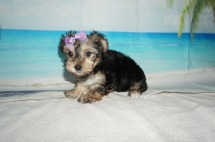 Alexa Female CKC Morkie $1750 Ready 9/3 SOLD MY NEW HOME BELLE ISLE, FL ! 2.3lb 7W old