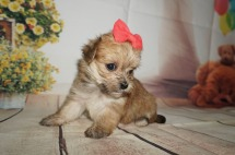 America Female CKC Shorkipoo $1750 Ready 9/5 HAS DEPOSIT MY NEW HOME JACKSONVILLE, FL 1.3LBS 4W4D OLD
