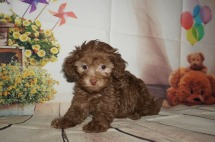 Cappuccino Male CKC Malshipoo $2000 Ready 8/20 AVAILABLE 2.3lbs 7W old