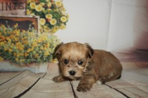Corporal Male CKC Shorkipoo $1750 Ready 9/5 SOLD MY NEW HOME JACKSONVILLE, FL 1.4LBS 4W4D OLD