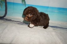 Fudge (MJ) Male CKC Maltipoo $2000 Ready 9/3 SOLD MY NEW HOME JACKSONVILLE, FL 1.5LBS 7W1D OLD