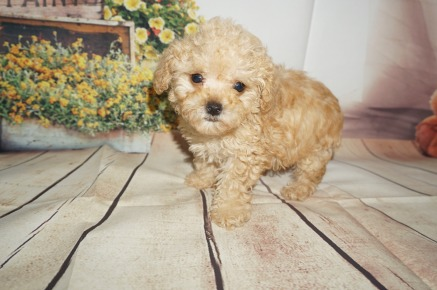 Hubba Bubba Male CKC Toy Poodle $2000 Ready 8/15 SOLD MY NEW HOME JACKSONVILLE, FL 1.7LBS 8WK OLD