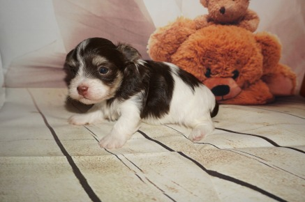 Jack Male Havanese $1750 Ready 9/3 AVAILABLE 1.6LBS 3W OLD