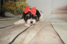 Jill Female Havanese $1750 Ready 9/3 AVAILABLE 1.5LBS 3W OLD