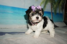 Jill (Pepper) Female Havanese $1750 Ready 9/3 SOLD MY NEW HOME JACKSONVILLE, FL 1.8LB 5W OLD