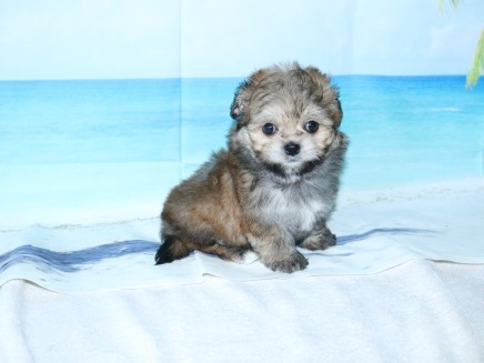 Lexus Female CKC Malshipoo $1750 Ready 9/3 SOLD MY NEW HOME JACKSONVILLE, FL! 1.8LB 7W OLD