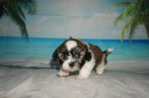 Linus Male CKC Havashu $1750 Ready 9/6 SOLD! MY NEW HOME IS IN PONTE VEDRA, FL! 1.14LB 6W4D OLD