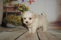 Louis (Peanut) Male CKC Shihpoo $1750 ready 8/30 SOLD MY NEW HOME JACKSONVILLE, FL 1.1LBS 5W4D OLD