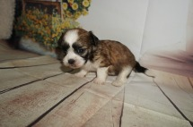LUCKY Male CKC Havashu $2000 Ready 9/6 AVAILABLE 1LB 4W4D OLD