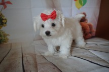LULU Female Havanese $2000 JUST DISCOUNTED NOW $1500 Ready 7/20 AVAILABLE 2.11LBS 11W5D OLD