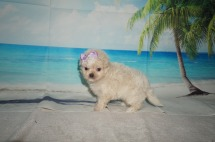 Macadamia Female CKC Malshipoo $2000 Ready 9/17 SOLD MY NEW HOME JACKSONVILLE, FL 1.3LB 5W3D OLD