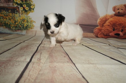 Mario Male Havanese $1750 Ready 9/6 HAS DEPOSIT MY NEW HOME JACKSONVILLE, FL 1.6LBS 4W4D Old