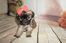 Mercedes Female CKC Malshipoo $1750 Ready 9/3 SOLD MY NEW HOME CELEBRATION, FL 1.4LBS 5WK OLD
