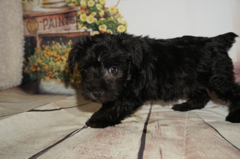 Mufasa Male CKC Schnoodle $1750 Ready 8/30 HAS DEPOSIT! MY NEW HOME IS INDIAN LAND, SC 2.7lbs 5W3D OLD
