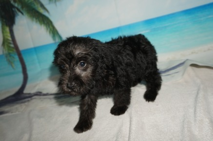 Mufasa Male CKC Schnoodle $1750 Ready 8/30 SOLD MY NEW HOME IS INDIAN LAND, SC 3.3lbs 7w4d old