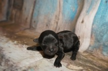 Mulligan Male CKC Yorkipoo $1750 Ready 10/3 AVAILABLE 4 oz 8 Hours Old