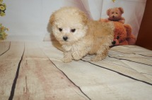 Orbit Male CKC Toy Poodle $2000 Ready 8/15 SOLD MY NEW HOME JACKSONVILLE, FL 1.2LBS 8WK OLD