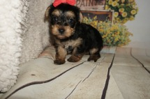 Pandora Female CKC Morkie $1750 Ready 9/3 HAS DEPOSIT 1.15LBS 5WK OLD