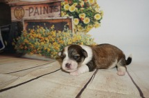 Ravin Female Havanese $1750 Ready 9/24 AVAILABLE 11.5 oz 2W3D Old