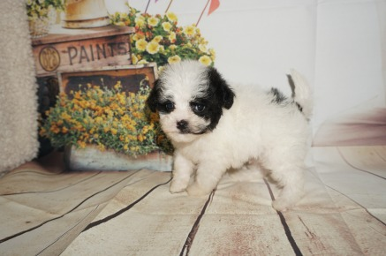 Ray Male CKC Shihpoo $1750 AVAILABLE 1.3LBS 5W4D OLD