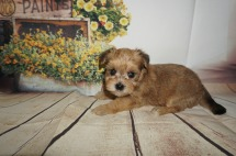 Sargent Male CKC Shorkipoo $1750 Ready 9/5 HAS DEPOSIT MY NEW HOME JACKSONVILLE BEACH, FL 1.6LBS 4W4D OLD