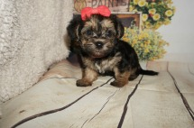 Siri Female CKC Morkie $1750 Ready 9/3 AVAILABLE 1.11LBS 5WK OLD