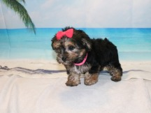 Siri Female CKC Morkie $1750 Ready 9/3 SOLD MY NEW HOME PONTE VEDRA, FL 2.3LB 7W OLD