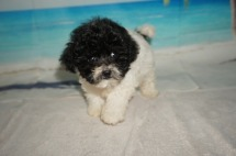 Macadamia Female CKC Shihpoo $1750 Ready 9/17 HAS DEPOSIT MY NEW HOME JACKSONVILLE, FL 1.2LBS 7W4D OLD