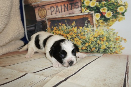 Tilly Female CKC Havashu $1750 HAS DEPOSIT MY NEW HOME PONTE VEDRA, FL 9/27 1 lb 12 Days Old