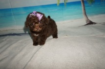 Toffee Female CKC Maltipoo $2000 Ready 9/3 SOLD! MY NEW HOME IS IN JAX, FL 15.7OZ 7W1D OLD