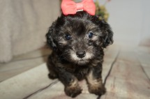 Espresso Female CKC Malshipoo $1750 Ready 8/20 AVAILABLE 2.3LBS 7WK old