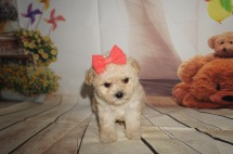 Eudora Female CKC Shihpoo $2000 SOLD! MY NEW HOME IS IN MIAMI, FL! 1.1LBS 5W4D OLD