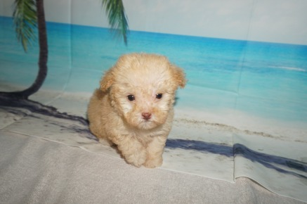 Honey Female CKC Maltipoo $2000 Ready 9/3 SOLD MY NEW HOME SPRING HILL, FL 13.8OZ 7W1D OLD