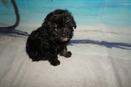 Pepper Male CKC Maltipoo $2000 Ready 9/3 SOLD MY NEW HOME JACKSONVILLE, FL 13.3OZ 7W1D OLD