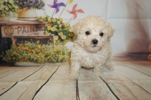 Prince Naueen Male CKC Shihpoo $1750 AVAILABLE 1.14lbs 5W4D old