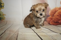 Private Male CKC Shorkipoo $1750 Ready 9/5 HAS DEPOSIT MY NEW HOME ORMOND BEACH, FL 1.6LBS 4W4D OLD