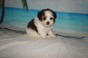 Puppies Available – TLC Puppy Love