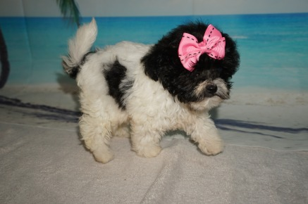 Tiana Female CKC Shihpoo $1750 Ready 8/30 SOLD MY NEW HOME JACKSONVILLE, FL 1.2LBS 7W4D OLD