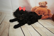 Coffee Female CKC Malshipoo $1750 Ready 8/20 AVAILABLE 2.7lbs 7W old
