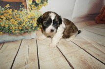 Linus Male CKC Havashu $1750 Ready 9/6 AVAILABLE 1.7LBS 4W4D OLD